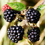 Plump blackberries ripe for picking