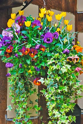 Pansy and Tulip Basket