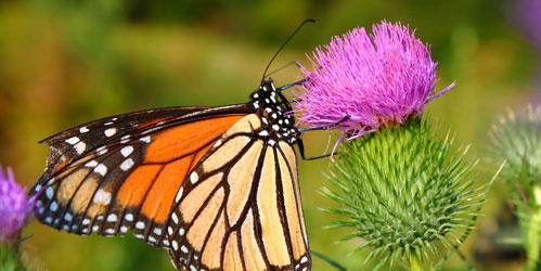 How top attract butterflies to your garden