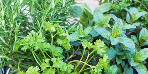 How to grow your own kitchen herbs
