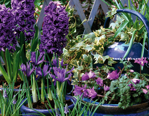 How to plant a spring flower medley