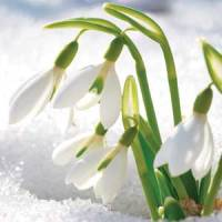 Planting snowdrops