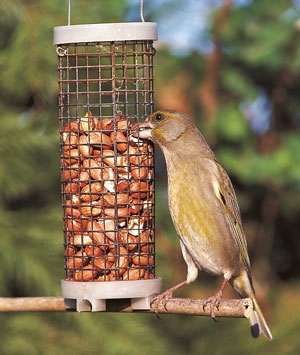 Greenfinch eating peanuts